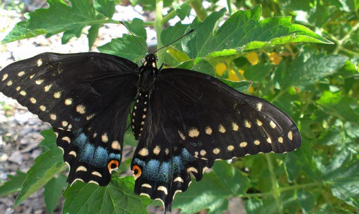 Black Swallowtail resting on a tomato branch