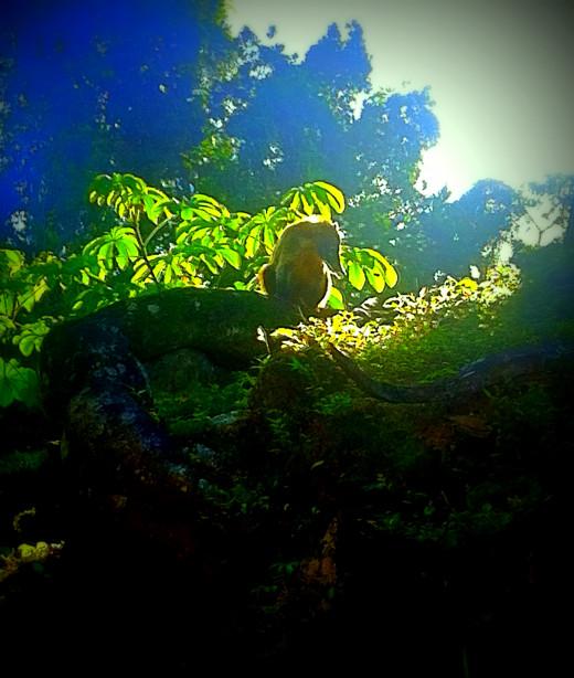 Jungle Coati