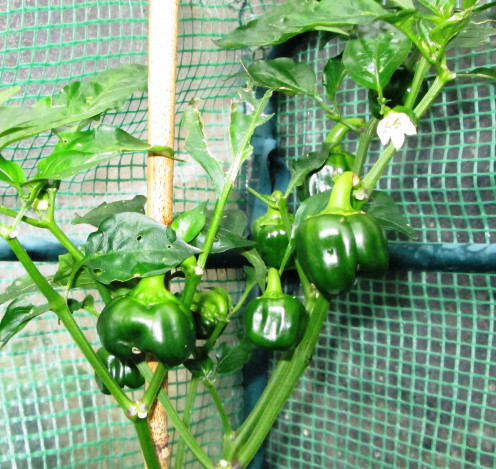how to grow green peppers from seeds