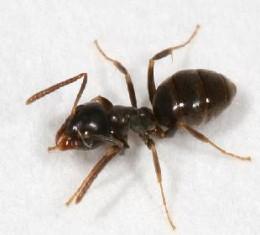 Tiny Pesky Odorous House Ant!