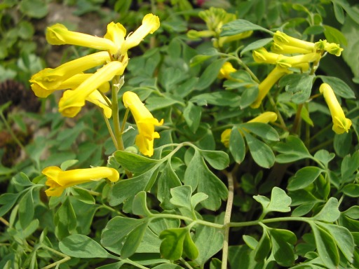 Corydalis was once classed with the Fumitories