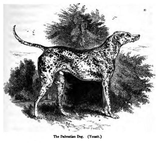 Dalmatian  1859