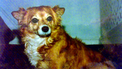 As she grew older, my dog Susie developed a corneal ulcer in her right eye.