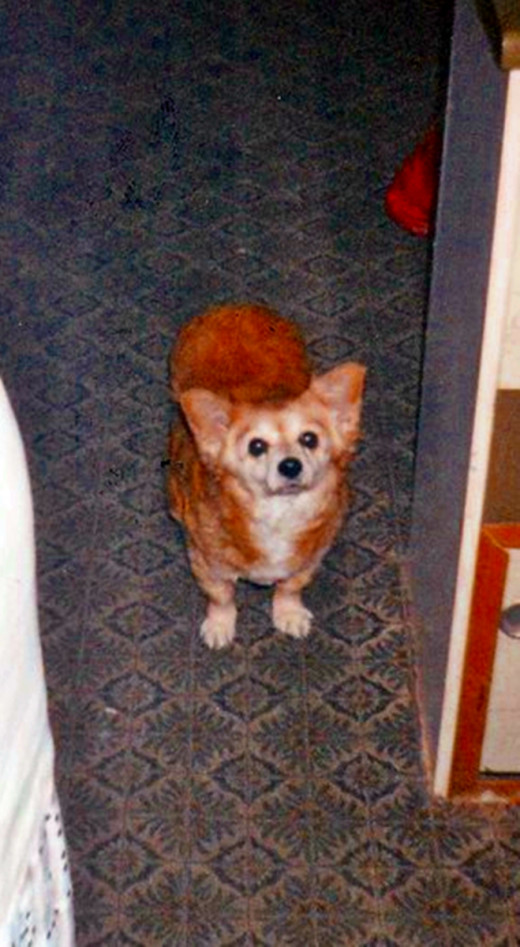My dog at the age of 16 years (as in this photo) was still healthy and happy and enjoying twice-daily walks.