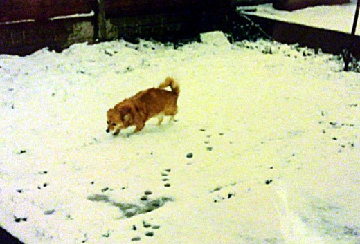 Susie (pictured in the snow in our back garden) was such a healthy, happy little dog, even at 16 years, that I decided we must go ahead with the operation.