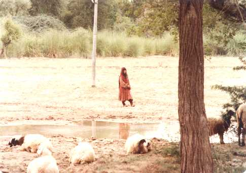 A Koochi girls keeps a watch of her resting sheep.