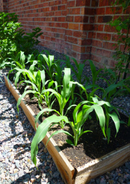 This photo shows the same Blue Jade corn plants just ten days later!