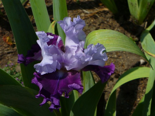 This one seems to be a blue and purple bearded iris flower.  I truly love this one!