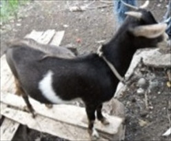 Goat Care And How To Tend Orphaned Kids