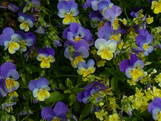 Johnny Jump Ups, or Viola Flowers