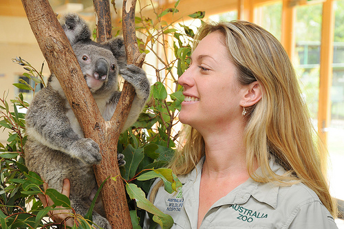 Dr Amber Gillett, an Australia Zoo Wildlife Hospital veterinarian, with an injured Koala in the Intensive Care Unit