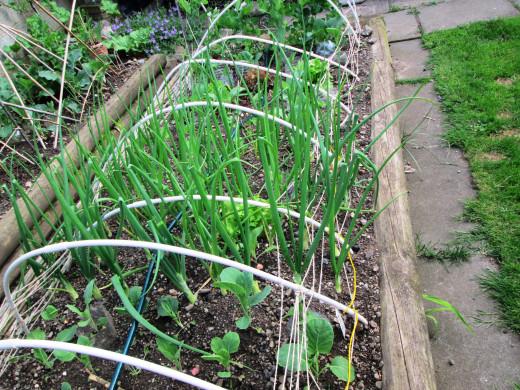 Vegetables Growing in my Garden