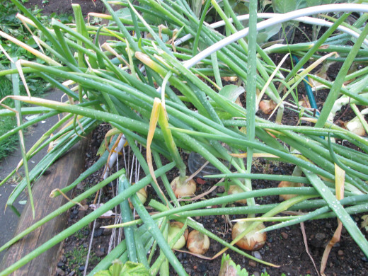 The leaves of the onions will fall over when it is a few weeks before harvest