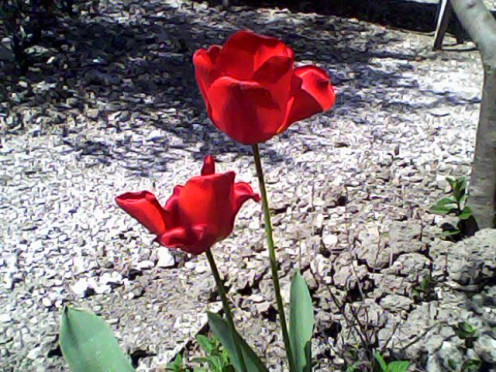 A red bulb usually blooms in April and dries out after a few weeks I enjoy it short lived beauty