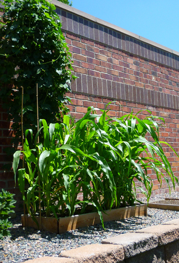 At two months from planting, the corn plants were nearing flowering and ear production!