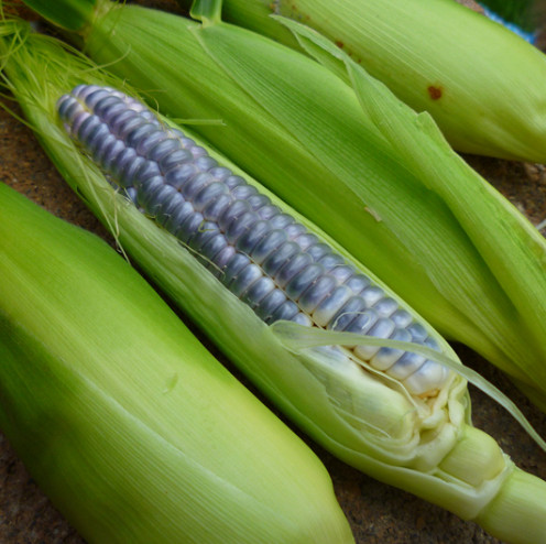 Heirloom Blue Jade Sweet Corn.