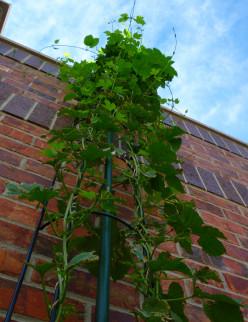 Cascade hop plant growing up a trellis.