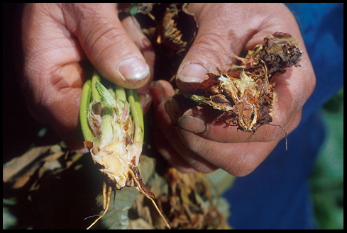 Healthy strawberry plant on left. Verticillium infected on right. Photo By: Howard F. Schwartz, Colorado State University.