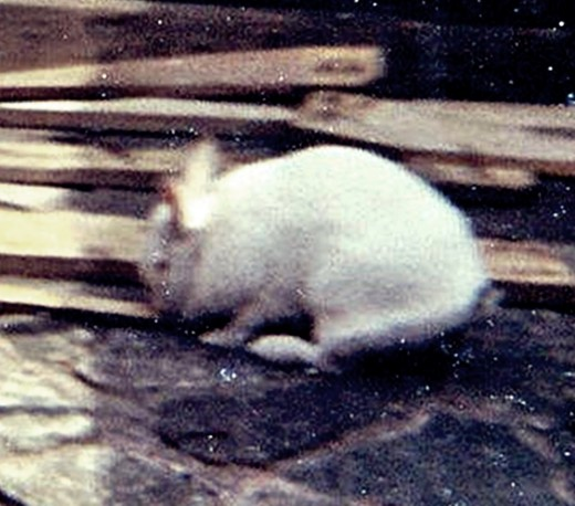 My own rabbit, Snowball, a mature male rabbit - I didn't think he would take kindly to having another rabbit introduced to him at quarter to four in the morning.