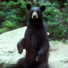 Understanding Black Bears And How We Should Act Around Them