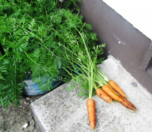 Carrots Grown in Containers