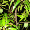 Know about best varieties of Mango and its uses,benefits.