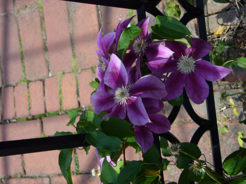 This was found in a Victorian Garden, and the structure was a combination trellis and bench.  Being black, it looked very classy but with the clematis it was just beautiful.
