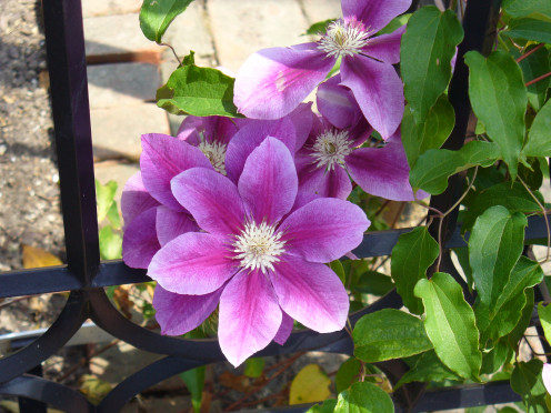 I love these gorgeous clematis blooms, and think these particular ones may be my favorite of the ones shown here.