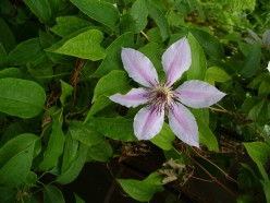 This clematis stands out from some of the others here in that it is white with some pink or lavender in it.