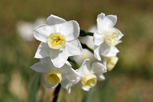 Image of Jonquil