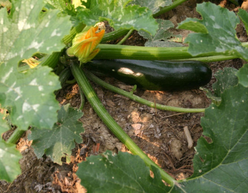 This is a picture of a Zucchini plant and also with a Zucchini fruit growing on the plant.Which will soon be ready to pick so that you can made my mother's homemade Zucchini Bread Recipe.