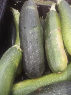 Picture of fresh picked Zucchini for making my mother's  Jean homemade Zucchini Bread Recipe.