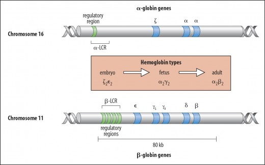 hemoglobin is a tetramer ( formed out of four sub-units) comprised of two alpha and two beta globin chains that comes from two multigene cluster.