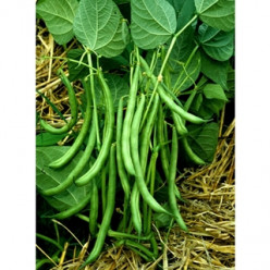 Extend Green Bean Harvest Upward with Pole Beans