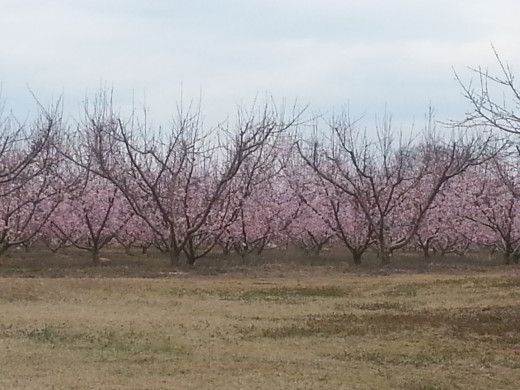 Peach orchards are just beginning to bloom here in my county.