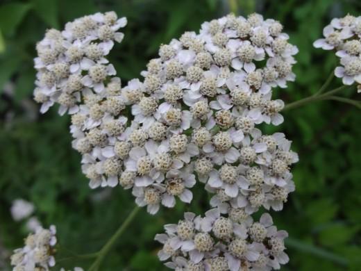 Common White Yarrow