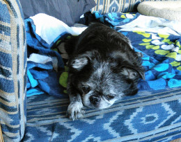 Roc is a 12-year old smooth Brussels Griffon.