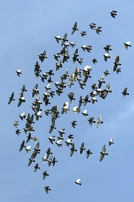 Flock of birds in flight (on the wing).