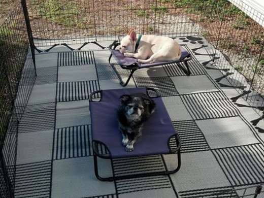 "Roc is in the front, Teddy in the back, relaxing on collapsible cots, in a collapsible ""exercise pen"" over a ground cloth."