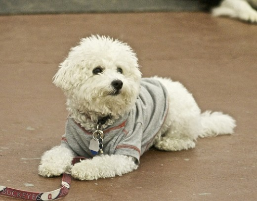 White-coated small breed dogs may have a predisposition for liver problems