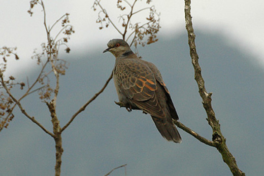 File: Duskyturtledove.jpg Author Tom Tarrant June 2007 CC-BY-SA-3.0