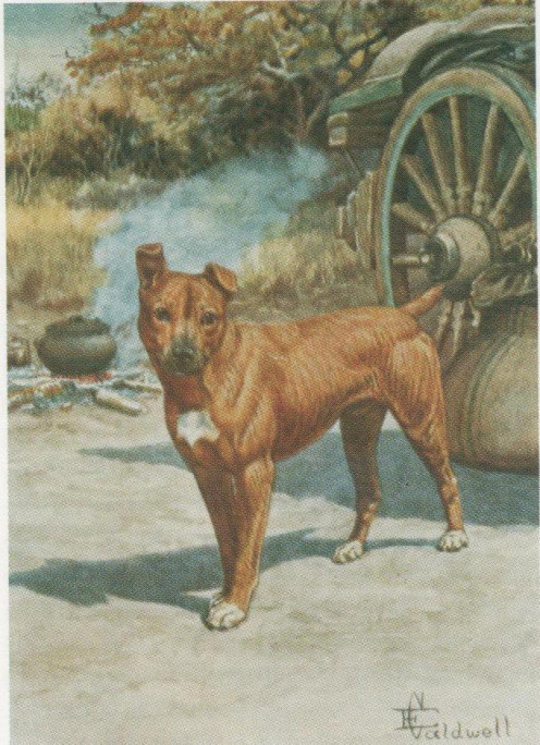 A legendary pet Percy FitzPatrick's famous companion, depicted by E Caldwell, who illustrated editions of Jock of the Bushveld.