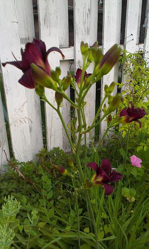 "Daylilies ""Barbary Corsair"" in my garden"