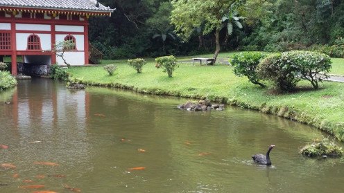 Black swan swimming in the Koi pond at Byodo-In Temple