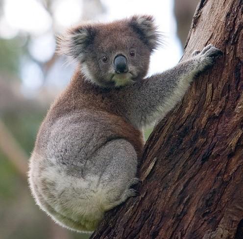 The Koala Native To Australia