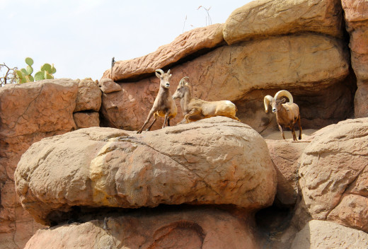 Cavorting in Progress:  Desert bighorn sheep.