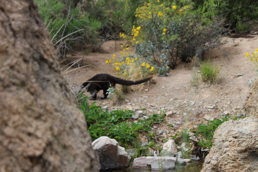 A coatimundi scuttles into view … and quickly vanishes.