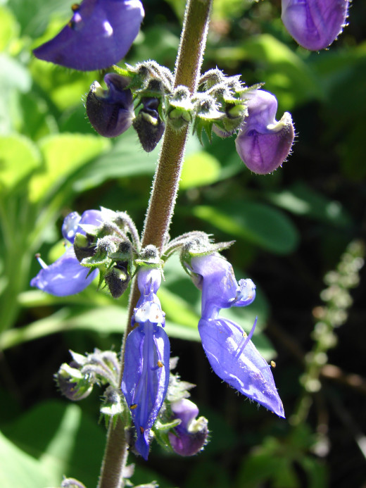 Plectranthus amboinicus flower.