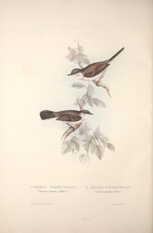 Gould -'The birds of Europe' 1837