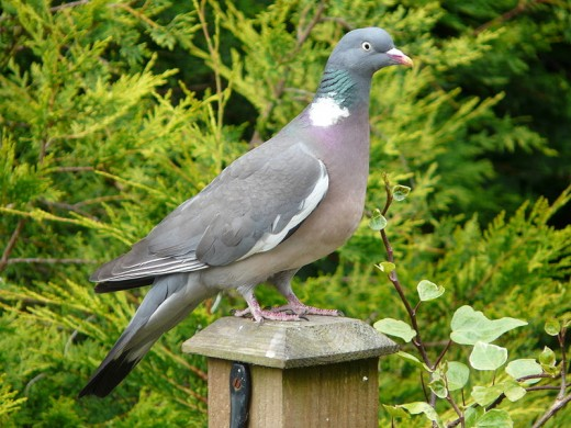 An adult woodpigeon, a bird that often incurs the wrath of many gardeners for 'stealing' food from other birds.